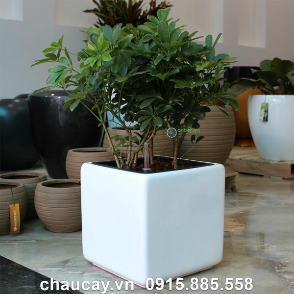 chau-composite-anber-vuong-cao-cap-1476 (4)