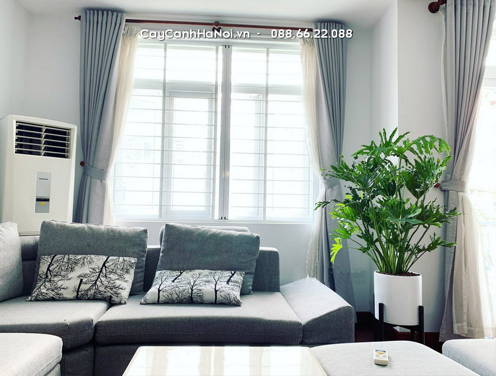 Anber Wood Trau Ba Thanh Xuan Chau Composite 6688 Co Ke Go Trang Mo2